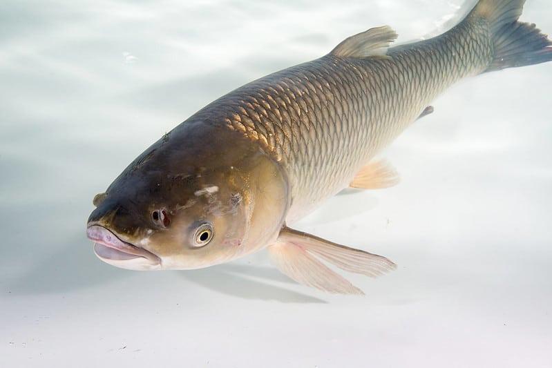 تصویری از یک ماهی آمور