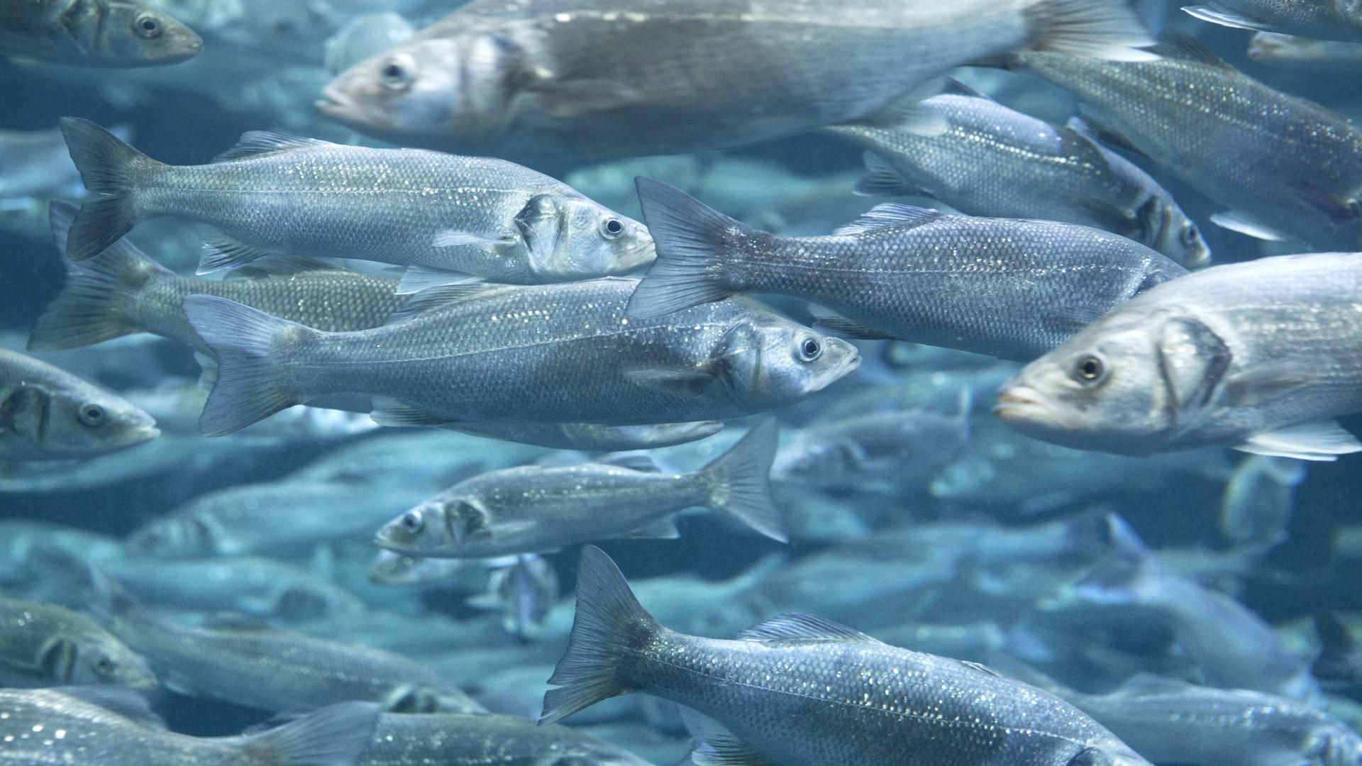 دارو درمانی ماهیان در استخر