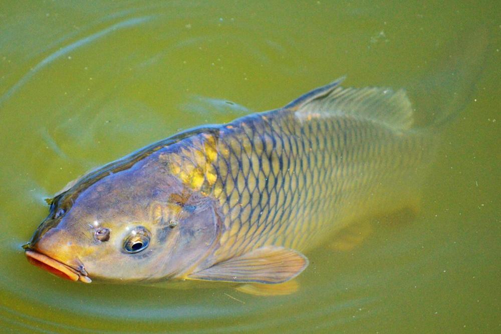 ماهی کپور 1